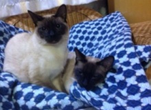 Twin Boy Siamese, 8 Months Old